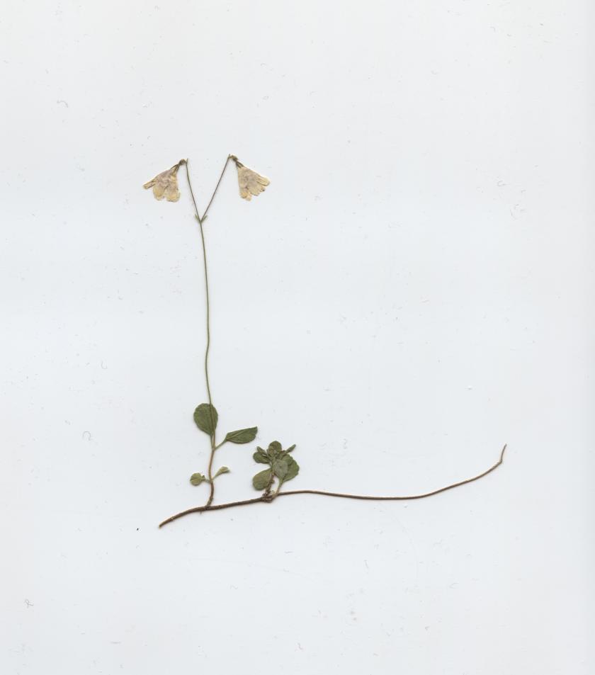 Linnéa boreális 001